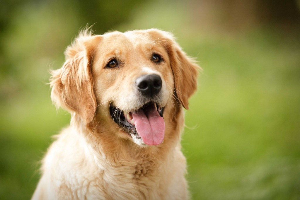 long-haired-golden-retriever