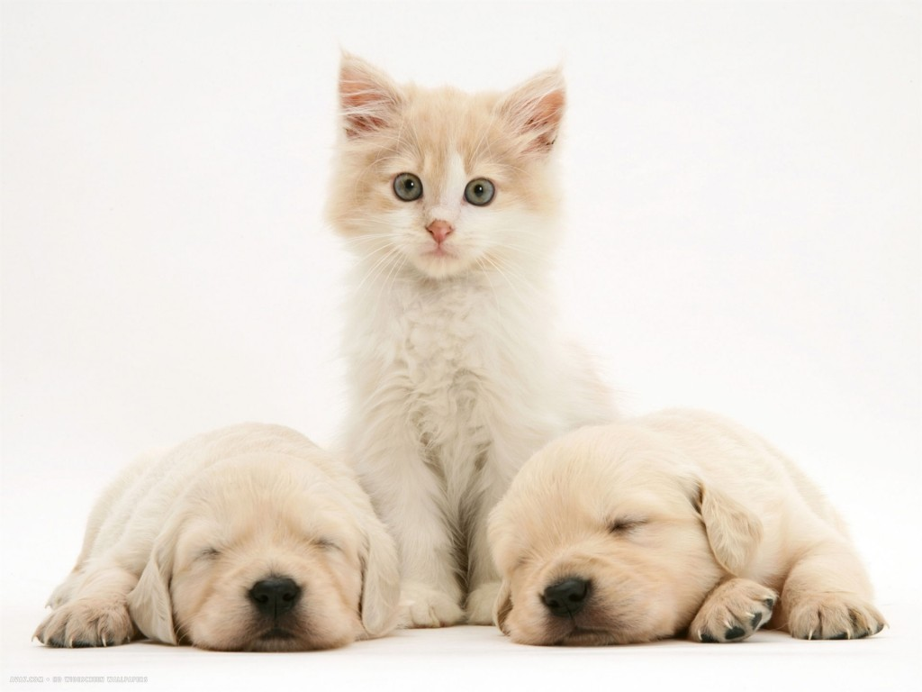 lilac-tortoiseshell-kitten-between-two-sleeping-golden-retriever-puppies