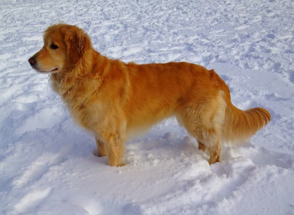 GoldenRetrieverSnow