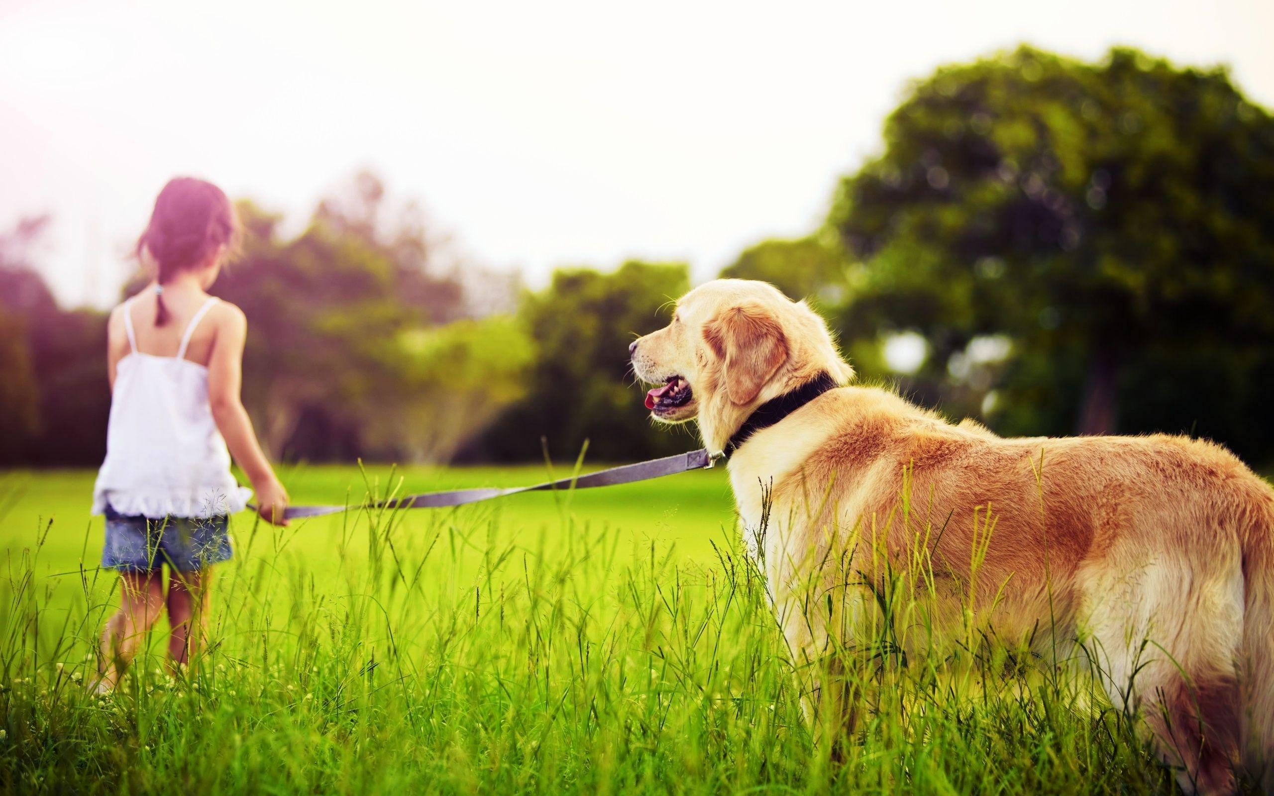 Labrador-retriever-progulka