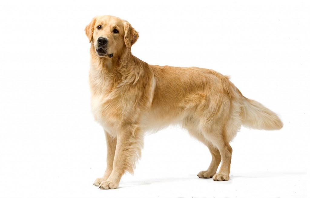 image_chien_de_race_golden-retriever-1
